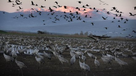 Cranes flock to Israel in early spring