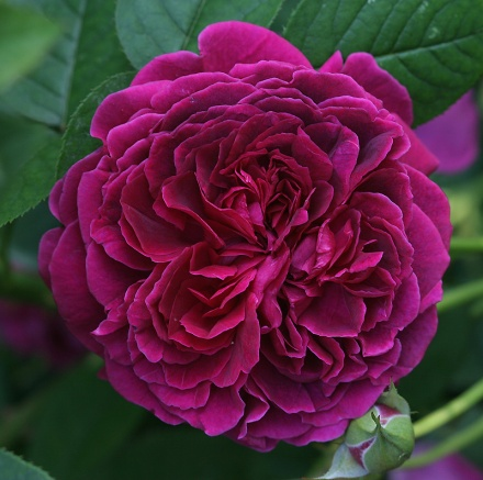 The Shakespeare Rose